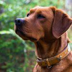 Foxred Labradorhündin Sina Labradorzucht