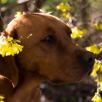Foxred Labradorzucht Sina