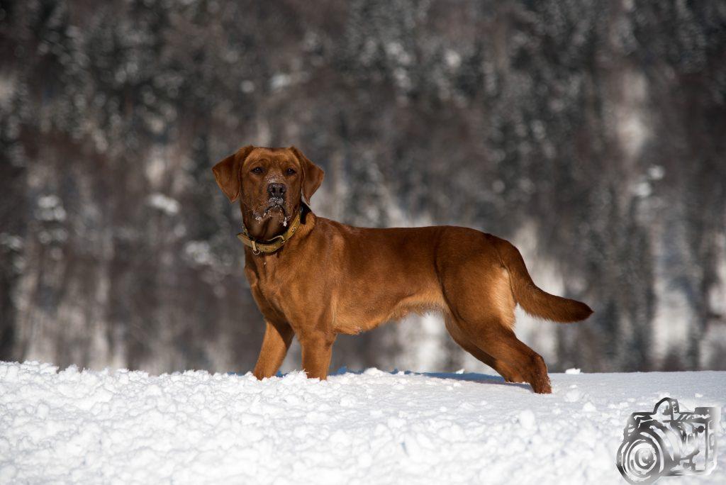 Zuchthündin Labrador Foxred Tiroler Zucht