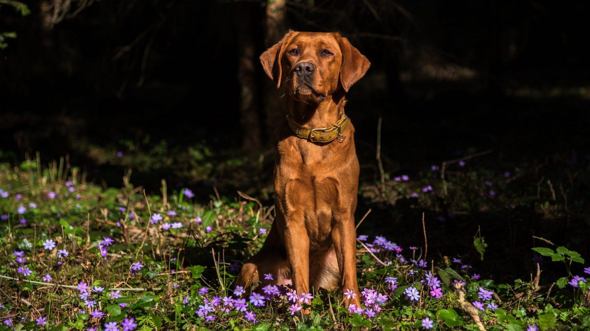 Labrador vom Lindenbühel