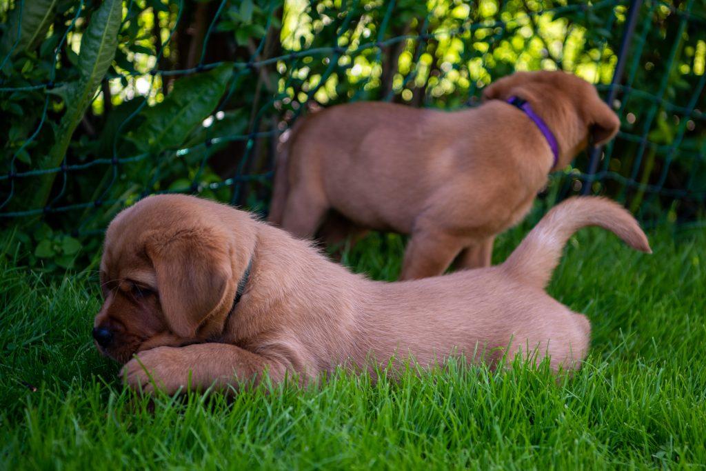 Welpen Foxred Labrador Zucht Tirol Österreich