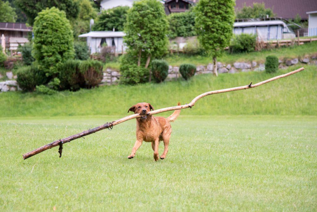 Foxred Labradorzucht aus Tirol Österreich