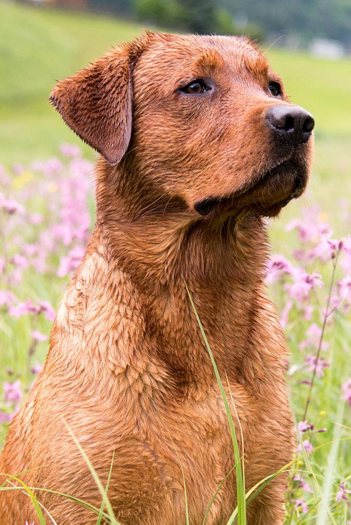 Deckrüde Foxred Labradorzucht Österreich