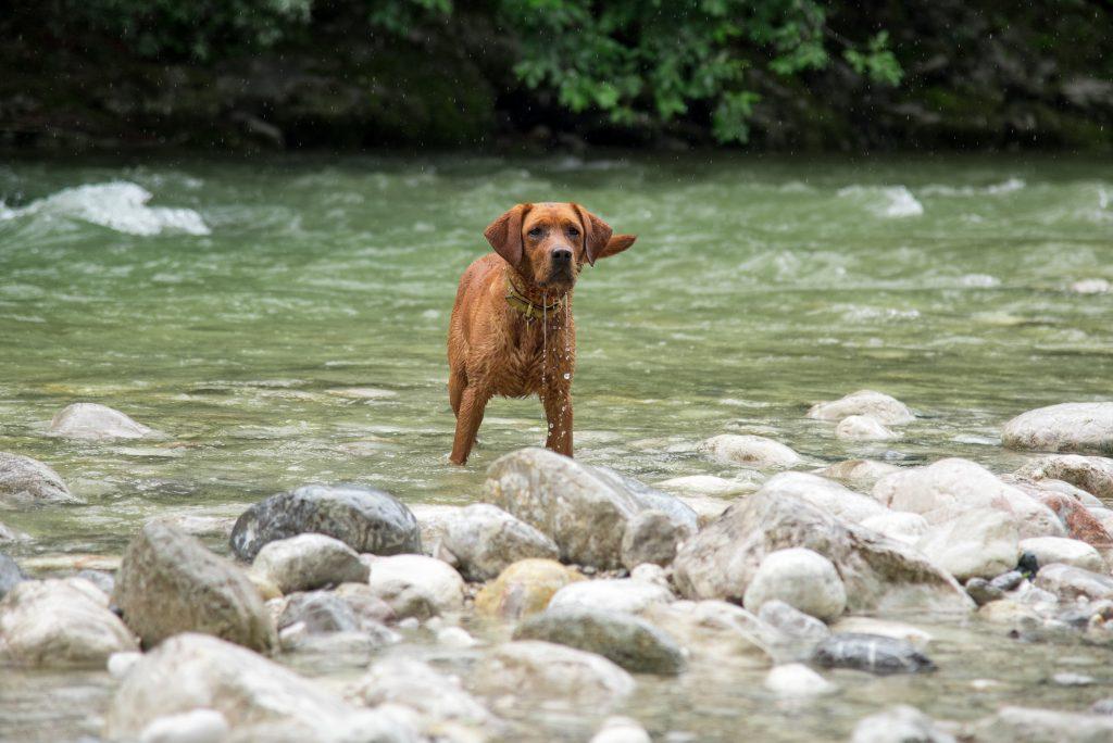Sina Labradorzucht Foxred Tirol Österreich